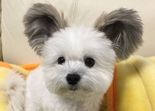 Puppy with Micky Mouse Ears Is Taking Over Instagram