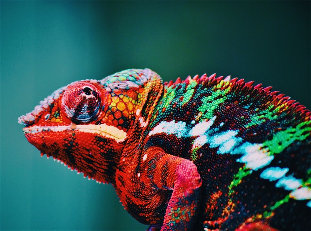 chameleon unknown facts