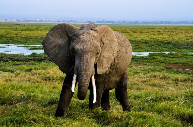 elephants amazing facts