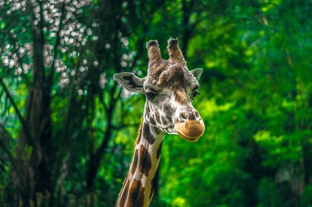giraffe amazing facts