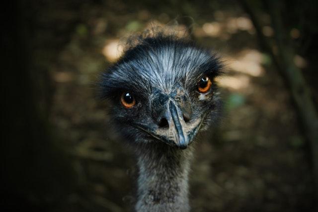ostrich fun facts