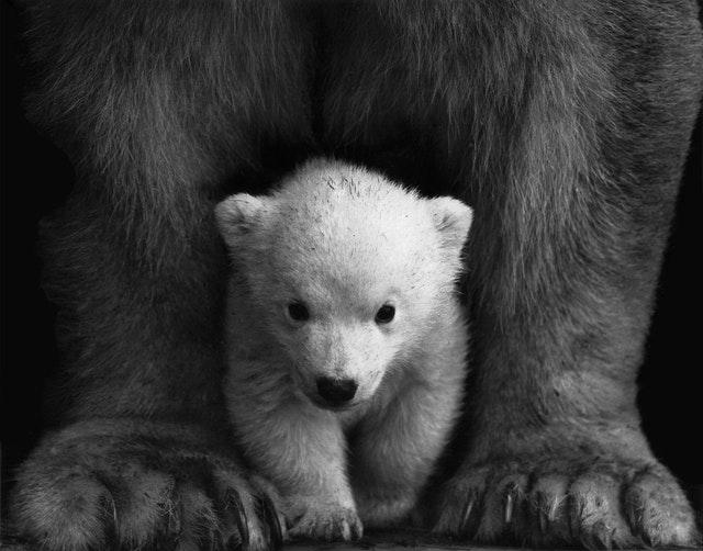 amazing facts polar bear