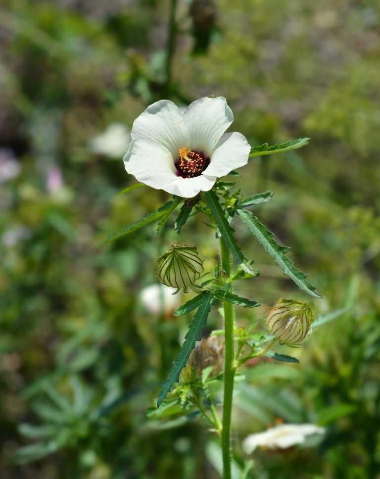 Deccan hemp flower